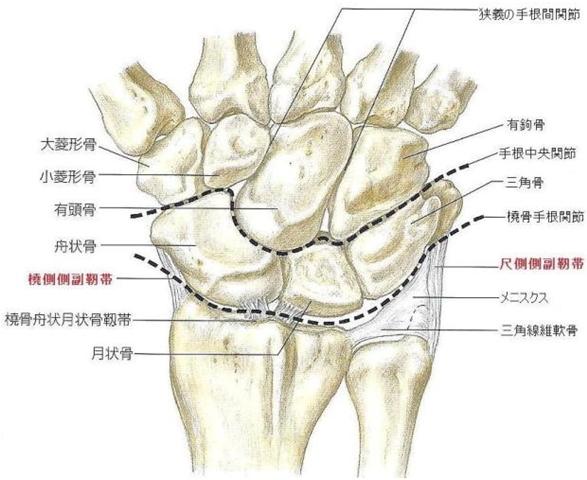 橈骨 手 根 関節