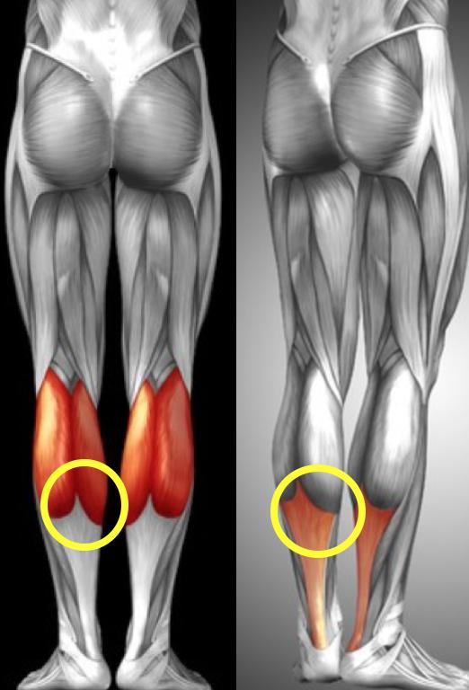 腓腹筋損傷について | 都立大整形外科クリニック
